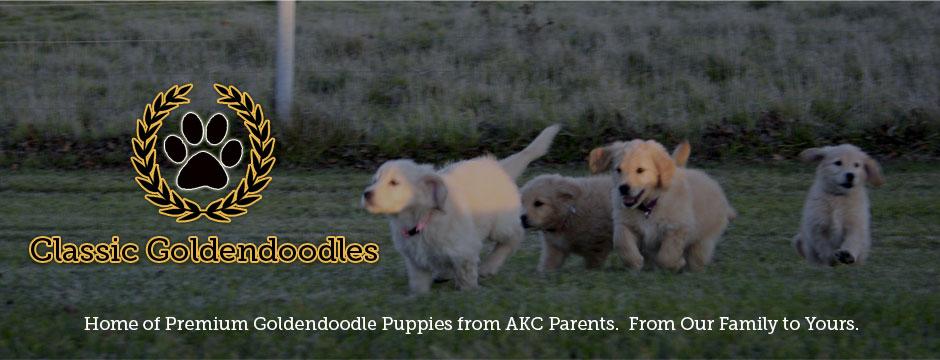Classic Goldendoodles – Premium Goldendoodle Puppies For Sale Iowa